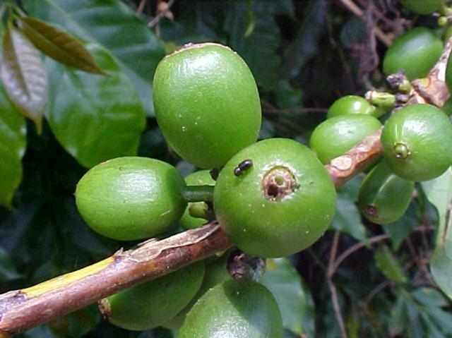 Broca-do-café: Aprenda como controlar para aumentar a produtividade