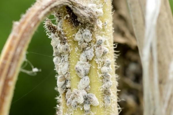 Pragas Agrícolas: Pulgão ou afídeos