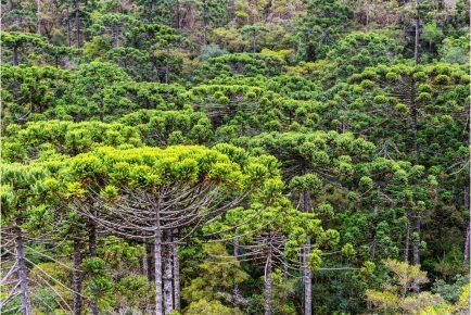 Floresta de araucária