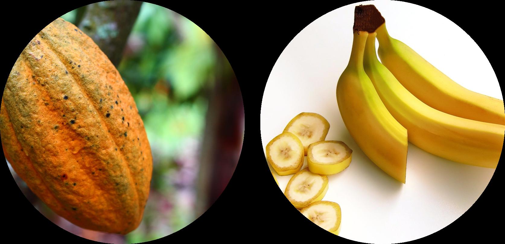 Epidemia em banana e cacau