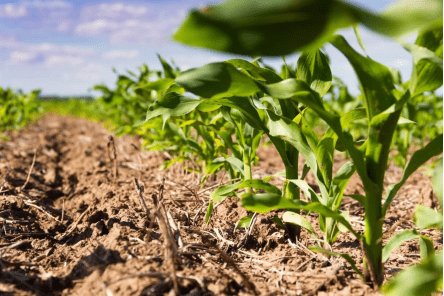 origem do milho