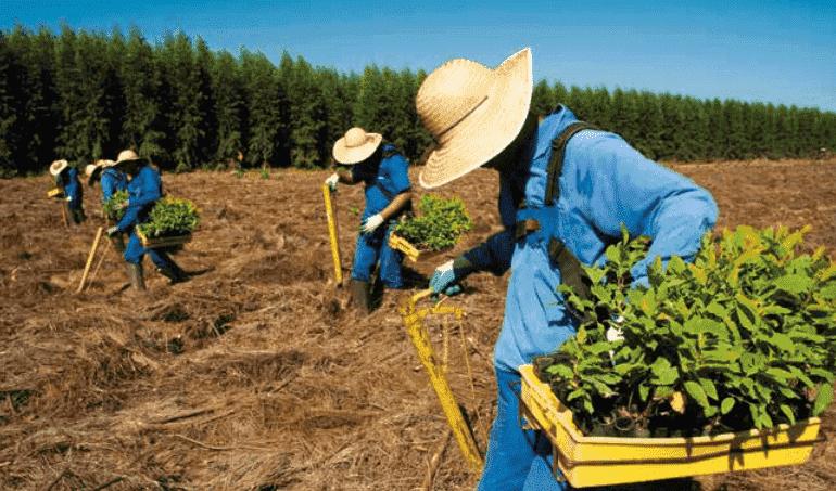 Métodos de Plantio de Eucalipto