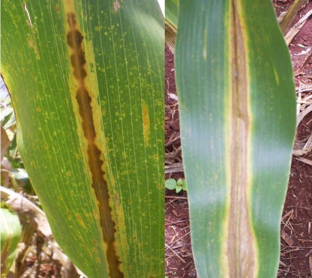 Doenças do milho - Antracnose na cultura do milho
