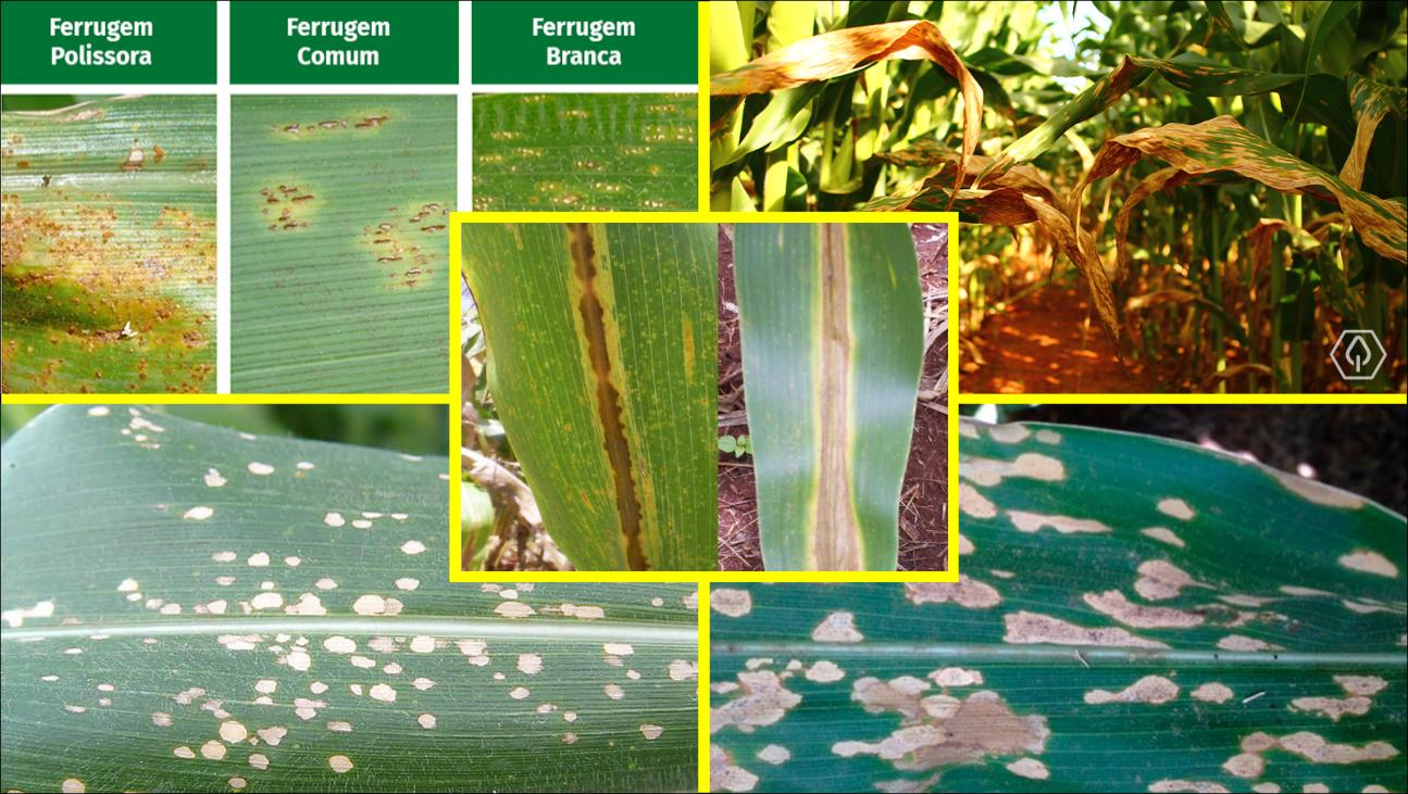 Doenças do milho: conheça as principais formas de controle!