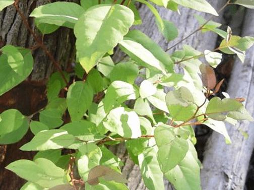 eucaliptos cloeziana