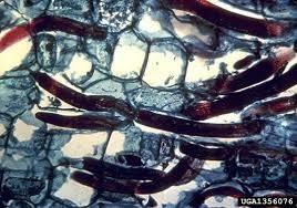 Nematoides cavernícola