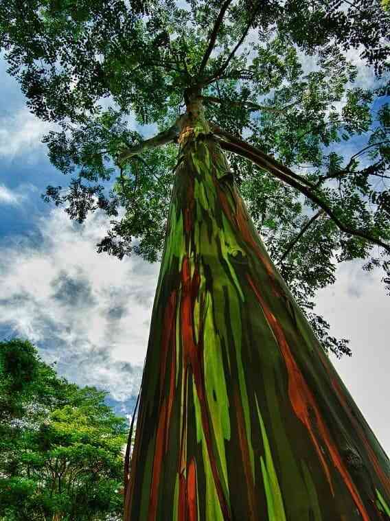 Eucalyptus deglupta (eucalipto arco-íris)