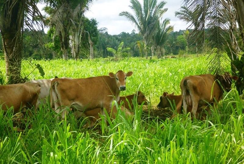 Classificação de sistemas agroflorestais