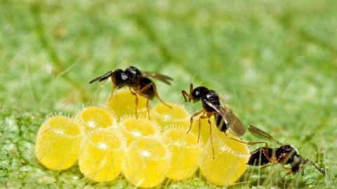 Parasitoides agente no controle biológico de percevejo