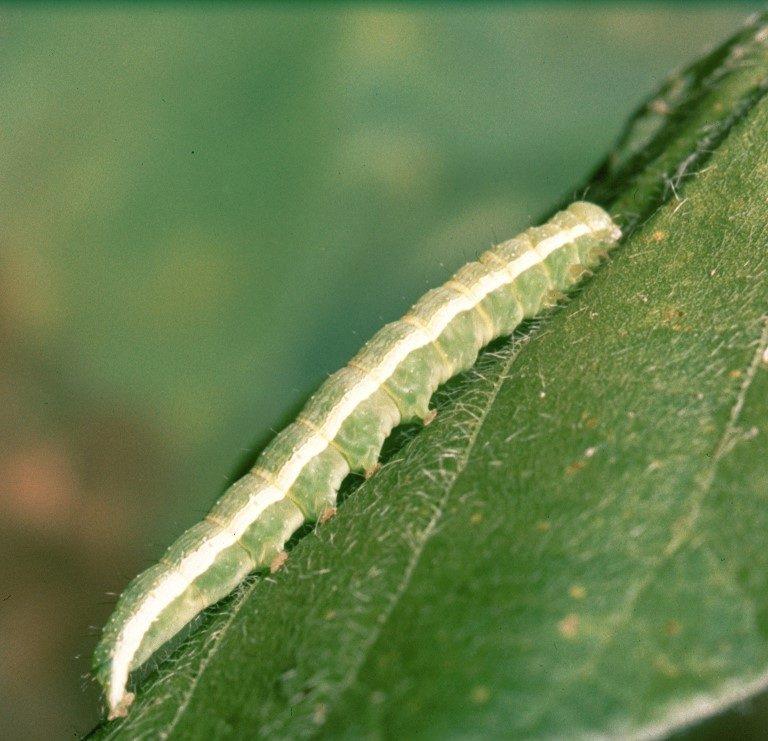 Lagarta-da-soja (Anticarsia gemmatalis)