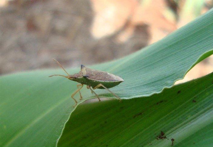 Percevejo-barriga-verde(DichelopsfurcatuseDichelops melacanthus)