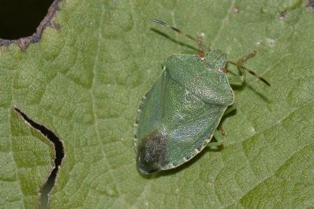 Percevejo-verde-pequeno (Piezodorus guildinii)
