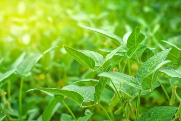 A adubação verde para a conservação do solo