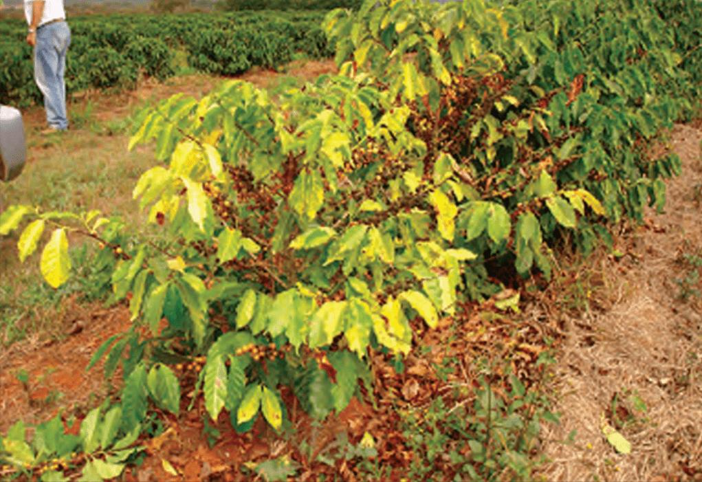 doenças do café - Nematoide das galhas