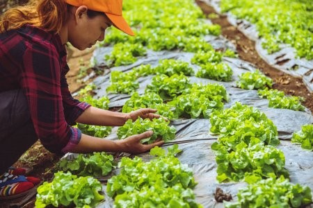 Plantação de alface orgânico.