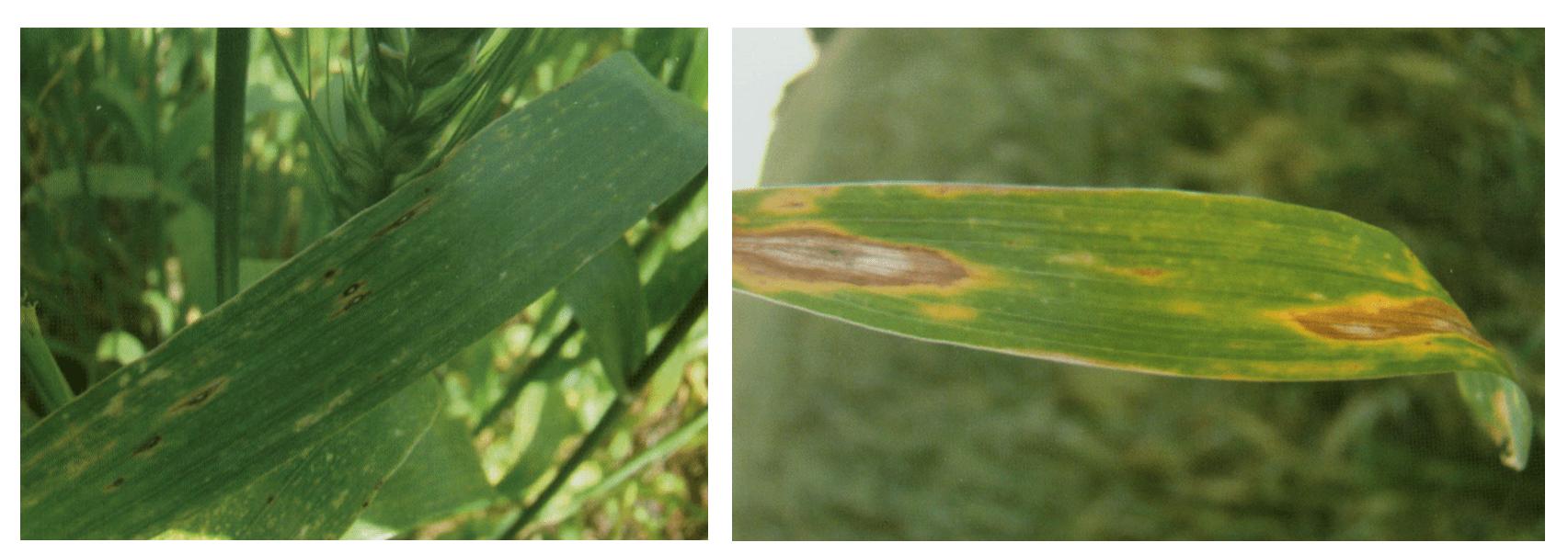 Sintoma da Mancha Marron e Mancha Amarela em folhas de trigo