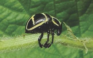 Bicudo-da-soja (Sternechus subsignatus)