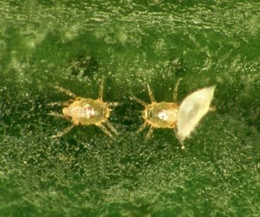 Ácaros Mononychellus planki