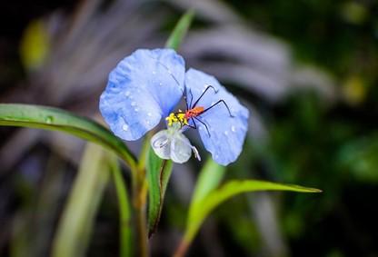 Trapoeraba- (Commelina erecta)