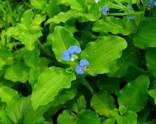 Trapoerabas- (Commelina benghalensis)