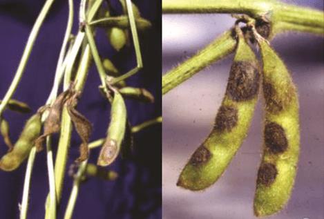 sementes de soja - Antracnose