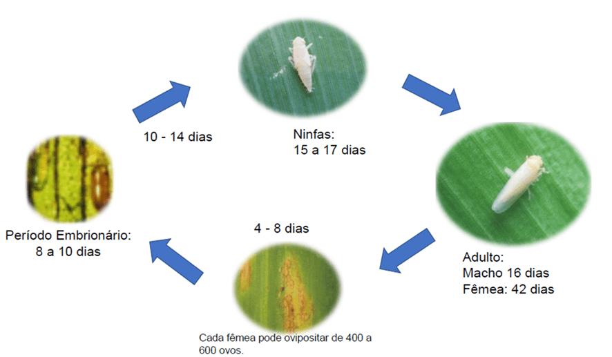 Ciclo de vida da cigarrinha do milho