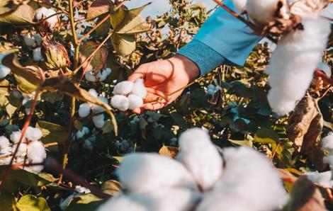 Colheita manual de algodão