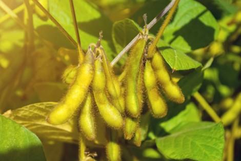 Maturação da Soja
