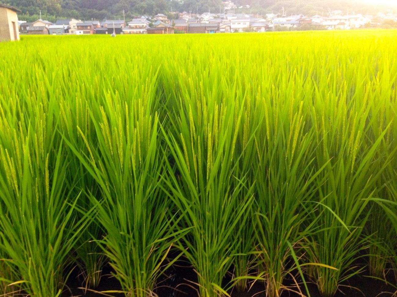 Sistemas de plantio de arroz