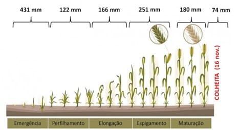 Ciclo de Desenvolvimento do Trigo