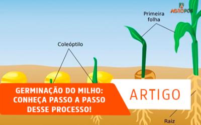 Germinação do Milho: Conheça Passo a Passo desse Processo!