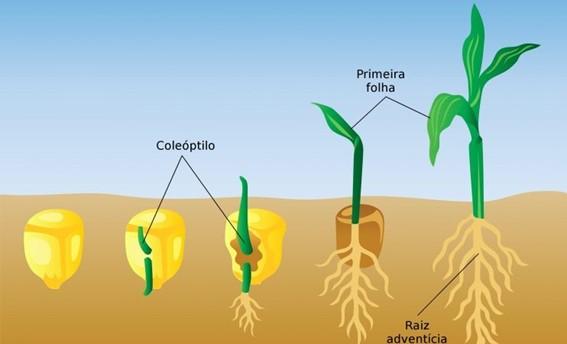 Germinação do milho