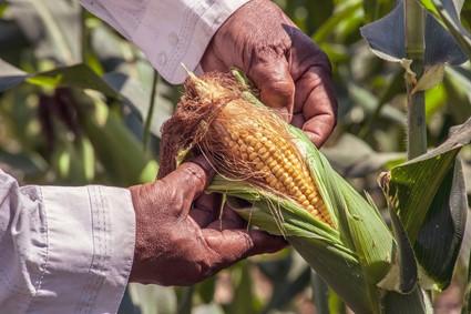 cultivo do milho