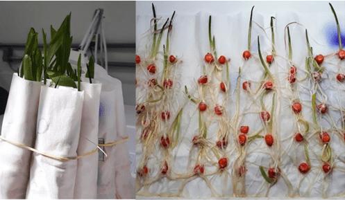 teste de germinação de milho em papel