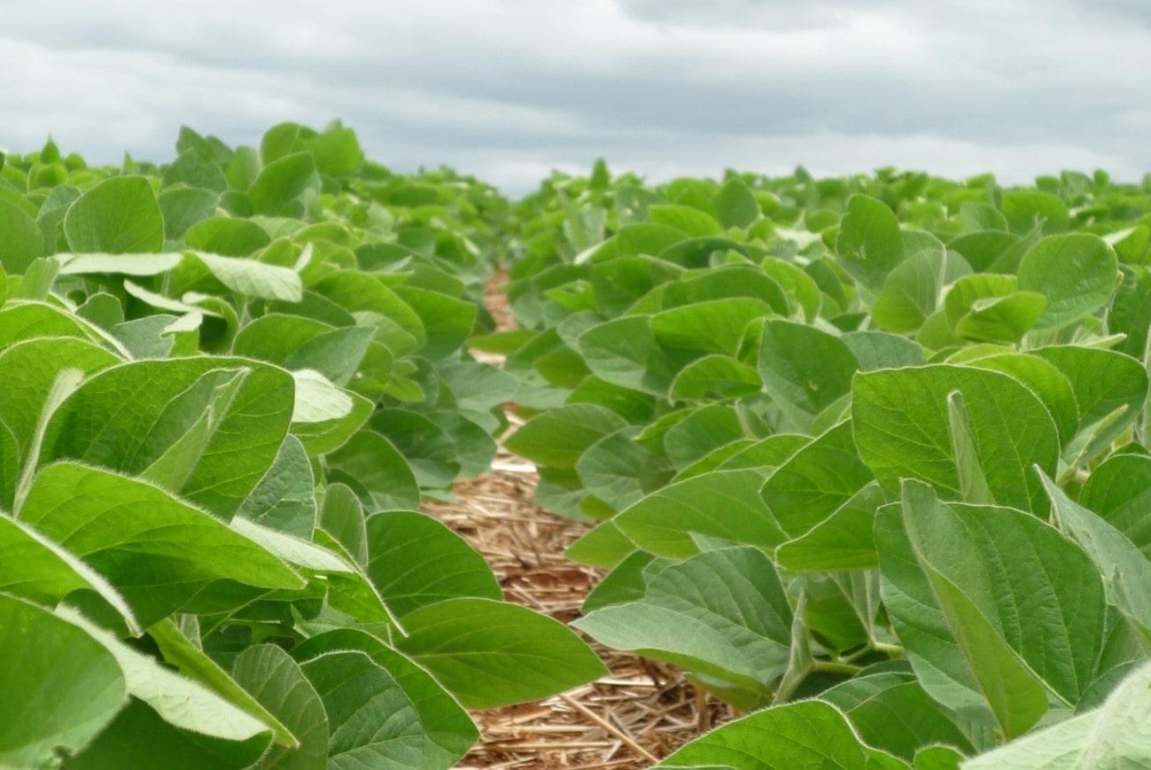 Como escolher a cultivar de soja correta