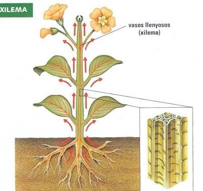 Como ocorre o transporte hídrico na planta