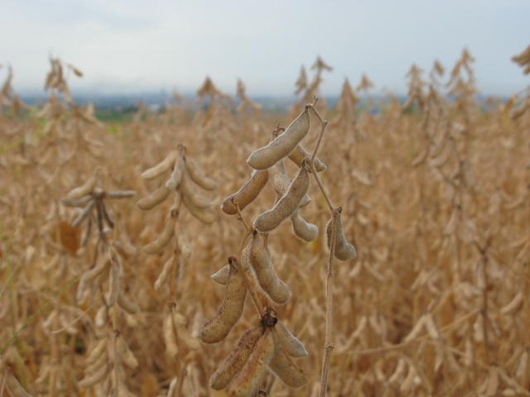Cultivares de soja convencional