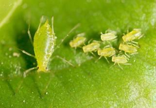 Pulgão Verde