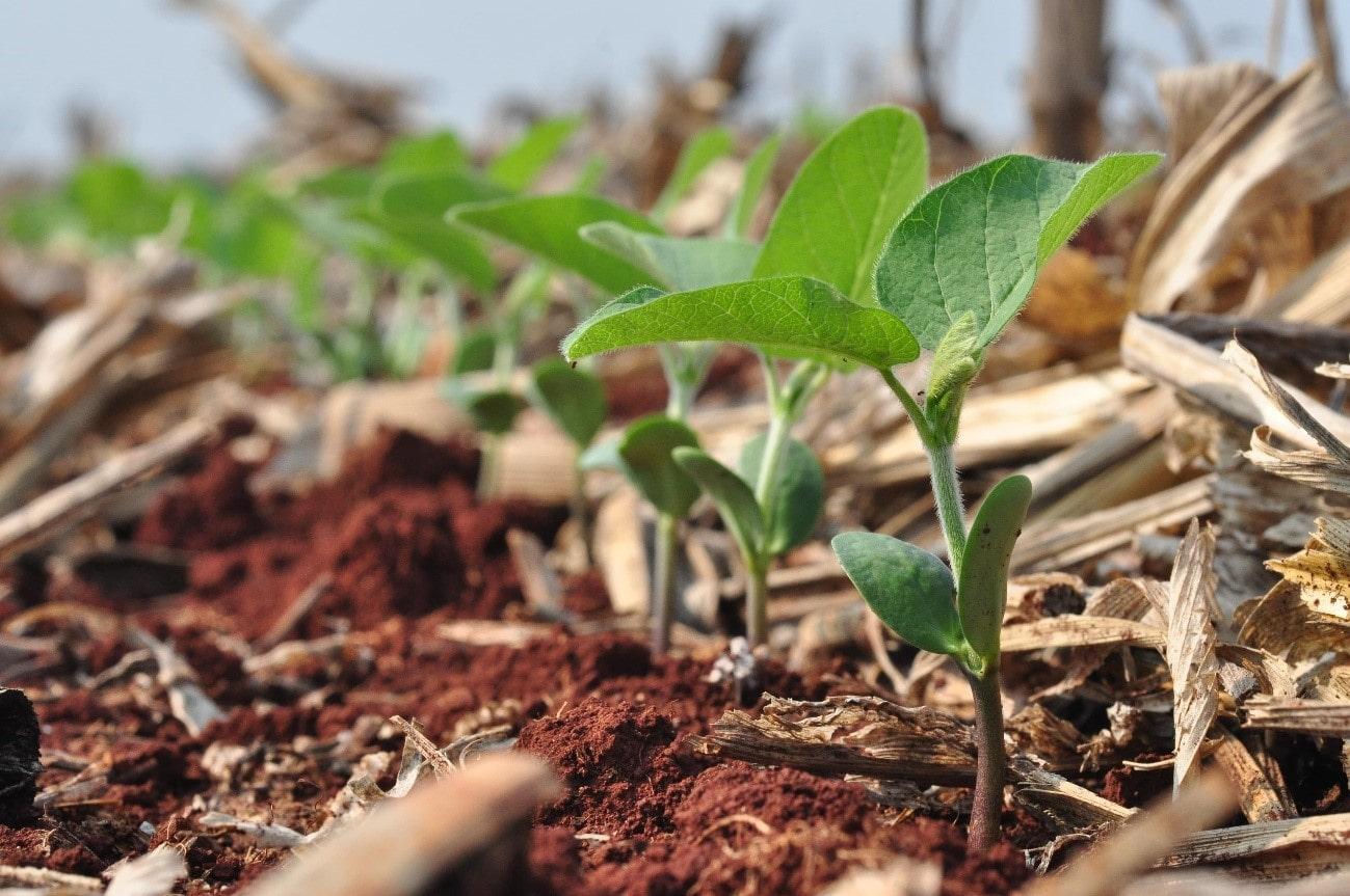 cultivar de soja