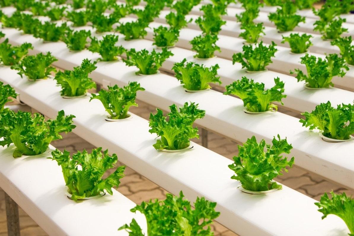 Cultivo hidropônico de tomate em estufa-min