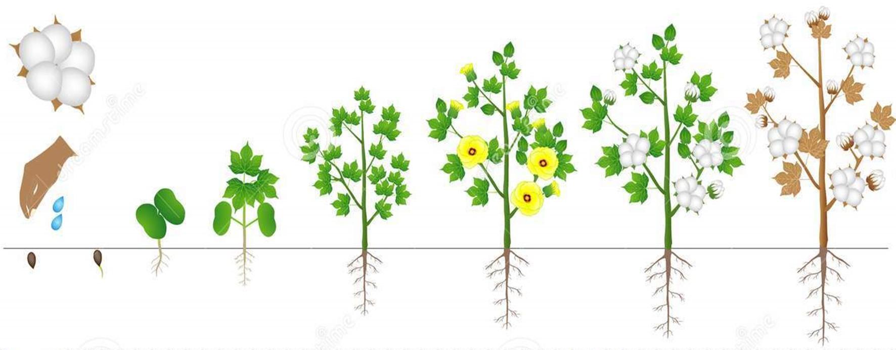 Ciclo vegetativo do Algodão