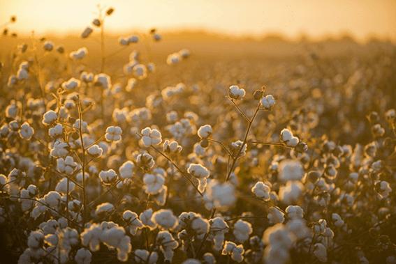 Plantio de algodão