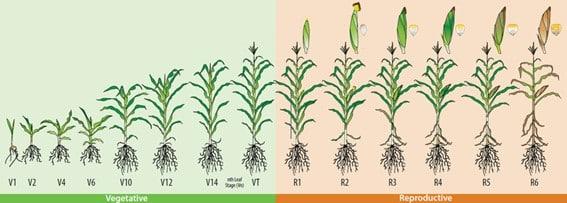 Quanto tempo leva do plantio à colheita do milho