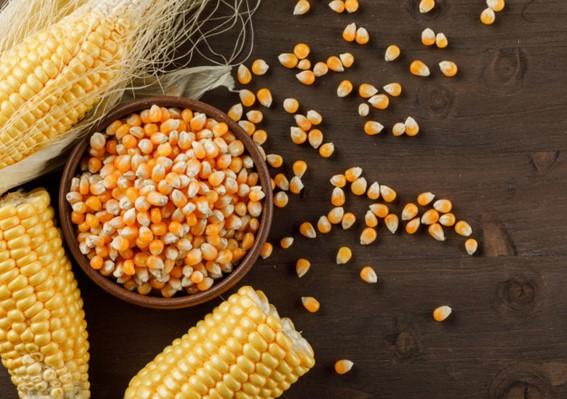 escolha da semente de milho