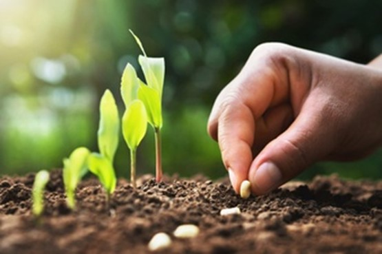 plantio e germinação do milho