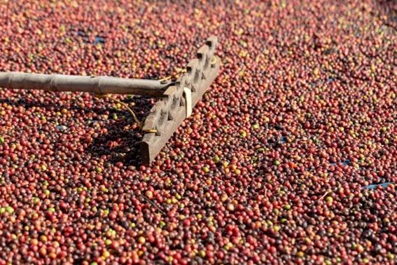 Fase de secagem do café