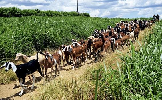 Pastagem para caprinos