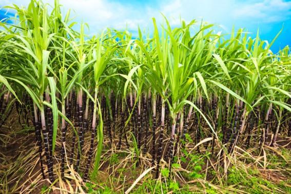 Canavial- Cana- de- Açúcar