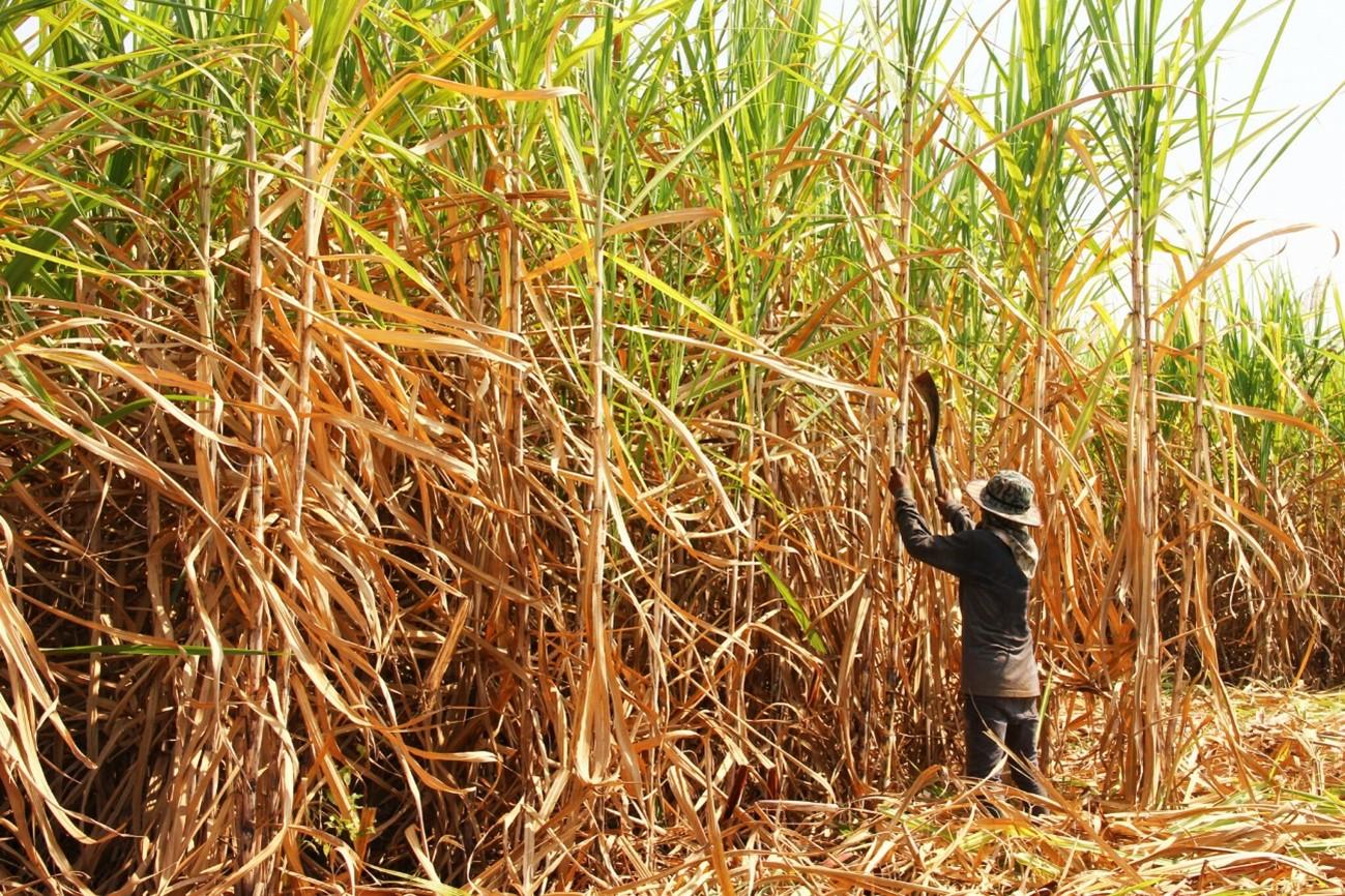 Plantio de Cana- de- Açúcar