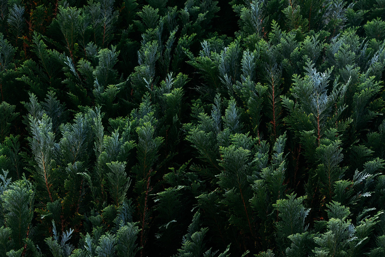 árvore de pinus